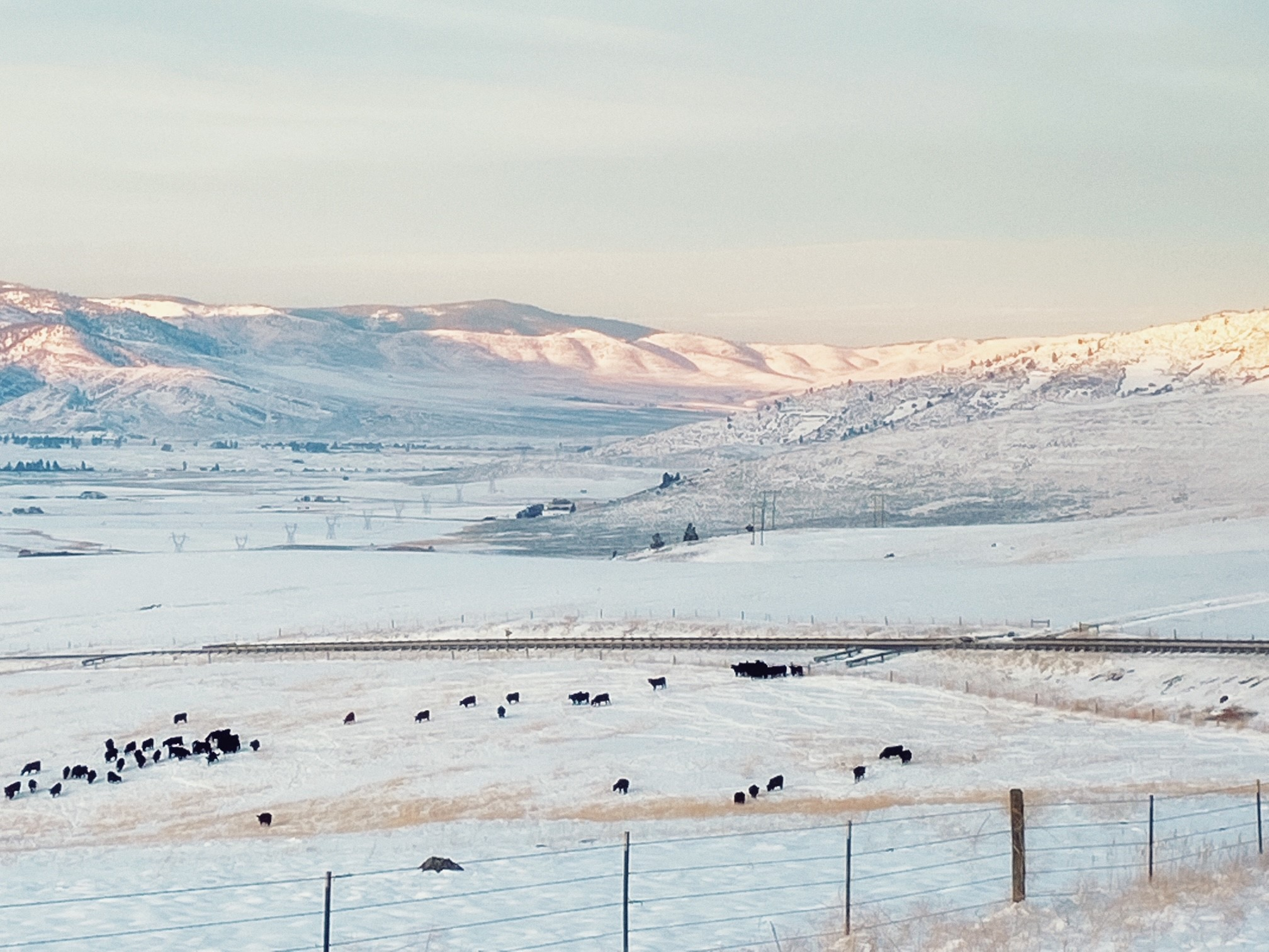 Landscape with snow and cattle